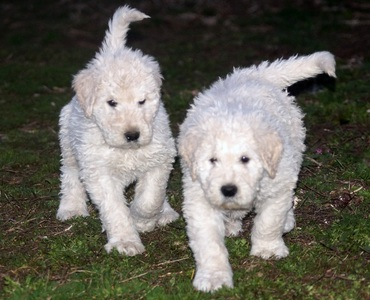 Komondor puppy...