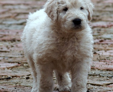 Komondor puppy male