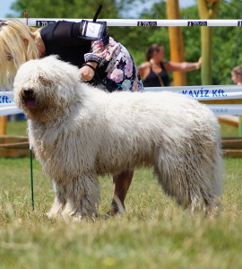 We've got the most successful Adult Komondor Kan prize.